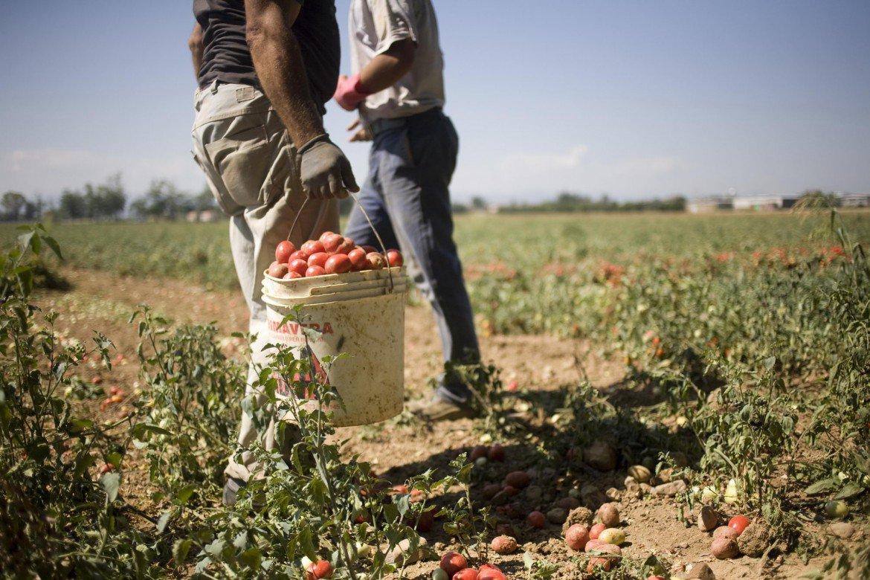 braccianti-raccolta-pomodori